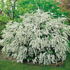 54 Best Medium Zone 7 Shrubs Images Shrubs Plants Garden