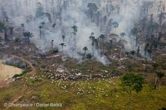 Smoke from man-made forest fires clears land for cattle or crops. Cattle graze nearby. 12 Aug, 2008  © Greenpeace / Daniel Beltrá