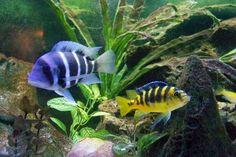 Some Of My African Cichlids Aquarium Fish For Sale, Saltwater Aquarium Fish, Fish Aquariums, Aquarium Ideas, Tropical Freshwater Fish, Tropical Fish, Different Fish, Salt Water Fish, African Cichlids