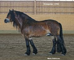 mealy bay - North Swedish Horse stallion Kronprins