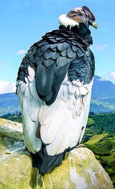 80 Best Andean Condor Ideas Andean Condor Birds Of Prey Pet Birds
