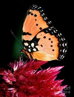 Plain Tiger Butterfly By Terry Elniski