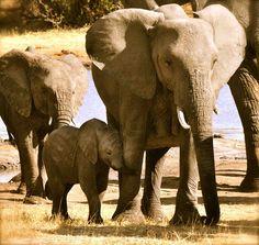 Cute baby elephant loving its mother at Nehimba, Hwange National Park, Zimbabwe (www.nehimba.com)