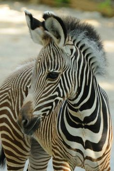 First Female Foal: A Baby Grevy's Zebra for Cincinnati Zoo
