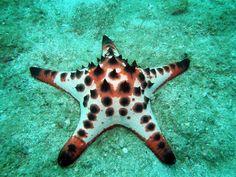 Estrela-do-mar-com-chifres ou Estrela-do-mar-chocolate (Nodosus Protoreaster), é uma espécie de estrela do mar encontrada nas águas quentes e rasas da região do Indo-Pacífico.
