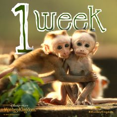 Monkey cuteness is just around the corner. In theatres on April 17. #MonkeyKingdom