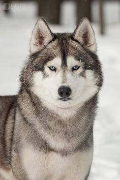Check out our website for even more relevant information on husky. It is a great spot to find out more. Beautiful Dog Breeds, Beautiful Dogs, Animals Beautiful, Wolf Husky, Siberian Husky Dog, Malamute Dog, Alaskan Malamute, Cute Husky, Husky Puppy
