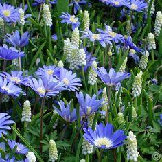 Muscari botryoides & Anemone blanda Blue Shades