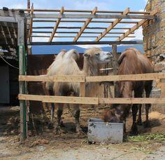 верблюды на Демерджи
