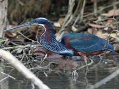 Agami Heron is regular on the nearby river Guacamayas Biological Station
