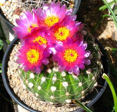 Notocactus uebelmannianus 0505 (1) copia.jpg (500×480)