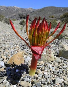 """Rolbos' in the desert. West Coast National Park, South Africa"" By Sue Wiederkehr Weird Plants, Unusual Plants, Rare Plants, Exotic Plants, Cool Plants, Tropical Plants, Cacti And Succulents, Planting Succulents, Planting Flowers"