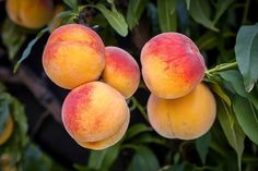 While having fruit trees on your property is fun and productive, if it is a peach tree, it can actually be dangerous for your dog. If your dog ingests any part of a peach tree or its fruit, contact your veterinarian immediately. Growing Peach Trees, Growing Tree, Fast Growing, Fruit Bearing Trees, Fruit Trees, Potted Trees, Trees To Plant, Dwarf Peach Tree, Gardening For Dummies
