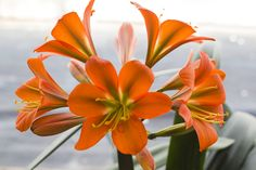 Colorado Clivia's plant number 1038. Clivia miniata, XL Red Spider.