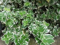 Euonymus fortunei 'Emerald Gaiety'.  Euonymus fortunei 'Emerald Gaiety' (Klätterbenved) Grupp: Träd, buskar, häck- och landskapsväxter › Euonymus Odlingszon: I - II Höjd 0,5 m. Vitbrokiga blad. Vintergrön. Marktäckare. Sol-djup skugga.