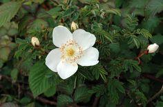 scottish burnet white rose