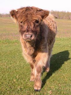 Dreugans Molach Farm - highland cattle