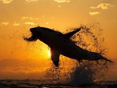 """Stunning great white shark attack image is a mystery no longer. I can't wait to go cage diving with these guys, one of the top spots on my bucket list. """"I want to see a shark before I die but I don't want the shark to be the last thing I see before I die, lol."""" - Me"""
