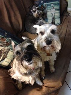 Lizzy, Harley and Lacey, 3 of 5 miniature schnauzers