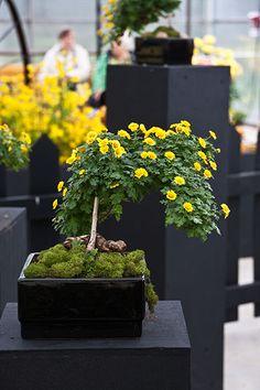 Chrysanthemum bonsai  | 2011 Hamilton Mum Show chrysanthemum bonsai