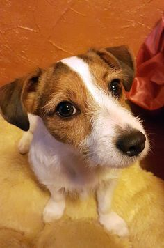 Jack Russell Mix, Parson Russell Terrier, Jack Russells, Dog Names, Terriers, Rats, Chihuahua, Cute Dogs, Corgi