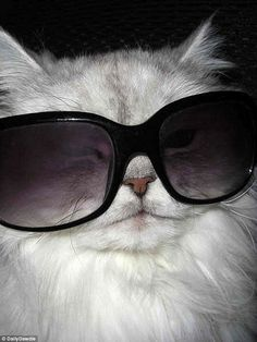 This cat knew that the only way to hide a hangover was with a pair of big sunglasses...