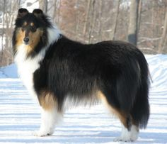 A very striking tricolour Rough Collie.