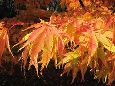 Japanese Maple at Stourhead