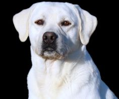 snow white lab would still be registered as a yellow Lab.
