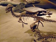 Stegoceras with turtle in the background. Royal Tyrrell Museum, Drumheller, Alberta