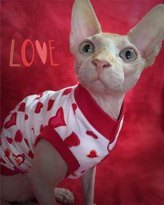 Rumple, sweetest troublemaker ❤️heartbreaker❤️in his Valentines Day shirt from SphynxNudiePatootie.com