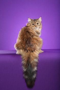 Gemma the Brown classic torbie Siberian cat