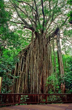 The Curtain Fig of Yungaburra, Atherton tableland.I have visited this place,the tree is stunning. Australia Living, Queensland Australia, Australia Travel, Unique Trees, Small Trees, Atherton Tablelands, Places To Travel, Places To Visit, Cool Pictures Of Nature