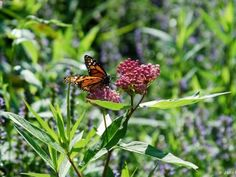 Native Plant Society of Texas to plant monarch waystations on I-35 in October…