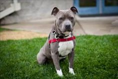 Gotti is an adoptable Pit Bull Terrier Dog in Napa, CA.  Primary Color: Grey Secondary Color: White Weight: 61 Age: 3yrs 1mths 2wks  Animal has been Neutered...