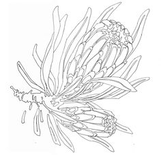 Native Canvas - Myall Creek to ReconciliationA Shared History Botanical Line Drawing, Floral Drawing, Botanical Drawings, Botanical Art, Protea Art, Protea Flower, Australian Native Flowers, Simple Line Drawings, Flower Sketches