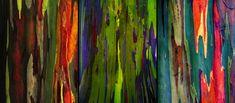 eucalipto de arco iris - Buscar con Google