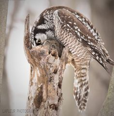 An incredible shot of this Northern Hawk Owl caching a field mouse for later consumption. More about these birds here --> OwlPag.es/NorthernHawkOwl, Quebec, Canada Feb 2018