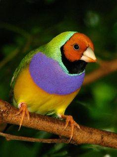 Lady Gouldian Finch - Colorful Australian Bird - Butterfly World - Tradewinds Park, Coconut Creek, Broward County, FL by paulmichaels79uf, via Flickr