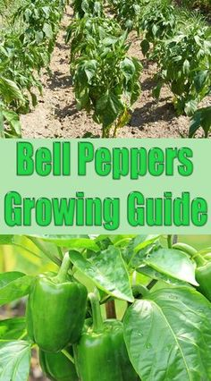 Bell Peppers are a tender, warm-season crop. They resist most pests and offer something for everyone: spicy, sweet or hot, and a variety of colors, shapes. Container Gardening Vegetables, Planting Vegetables, Growing Vegetables, Vegetable Gardening, Veggie Gardens, Growing Green Peppers, Growing Greens, Bell Pepper Plant, Pepper Plants