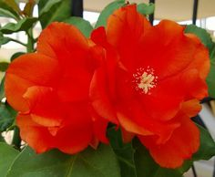 Bellisimo el color, flor de cactus
