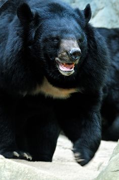 Two moon bears, nicknamed Rudolph and Holly, were saved from a cruel fate in China in early December 2012 when the Sichuan Forestry Department rescued them from villagers. The bears had been caught by villagers two years previously, but as they grew, it proved less convenient to care for them. Animals Asia, a charity working towards wild animal welfare and conservation, believe that the villagers were approached by traders wanting to sell the bears for their bile.