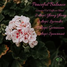 What are you diffusing today? Peaceful Balance is in the living room and kitchen diffusers this morning! It's a wonderful floral aroma with just a hint of spearmint. Perfect for a beautiful Sunday! Spearmint Essential Oil, Essential Oils, Natural Things, Essential Oil Diffuser Blends, Diffusers, Geraniums, Young Living, Spices, Sunday