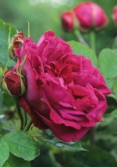 Rosa 'Gloire de Ducher' France 1865. Hybrid Perpetual. Carmine red rose, dark purple shading, blue highlights. Moderate violets fragrance. Baron de Bonstetten x Jean Soupert.