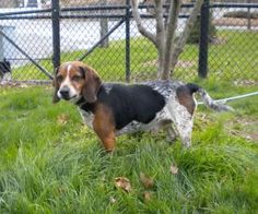 Dexter is an adoptable Beagle Dog in Middlebury, CT.  Hi There Im Dexter. I am a male Blue Tick Beagle. AFL rescued me from a local town pound and has given me this wonderful opportunity to find my fo...