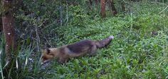 Fox #wildlife - http://anenglishwood.com/?p=9409