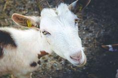 Sissi, die treuste Seele 🐐 😍  #urlaubaufdembauernhof #salzburgerland #sissi #ziege #heumilch #tierliebe #holidaysonthefarm #enjoymonday Sissi, Goats, Animals, Goat, Hay, Animales, Animaux, Animal, Animais