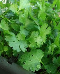 The chemical compounds in cilantro actually bind to the heavy metals, loosening them from the tissues, blood and organs. Cilantro's chemical compounds then aid to transport these harmful substances out of the body through elimination    PORTUGUÊS: coentro (Coriandrum sativum)