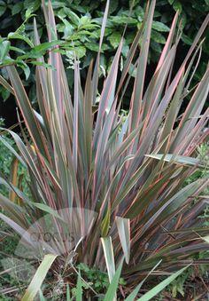 Phormium 'Maori Queen' New Zealand flax (Phormium Rainbow Queen):  Zone: 8-11  Evergreen, perennial  Full sun  4-6 ft tall, 3-4 ft wide