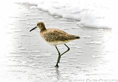 Sand Piper by tropicdiver, via Flickr